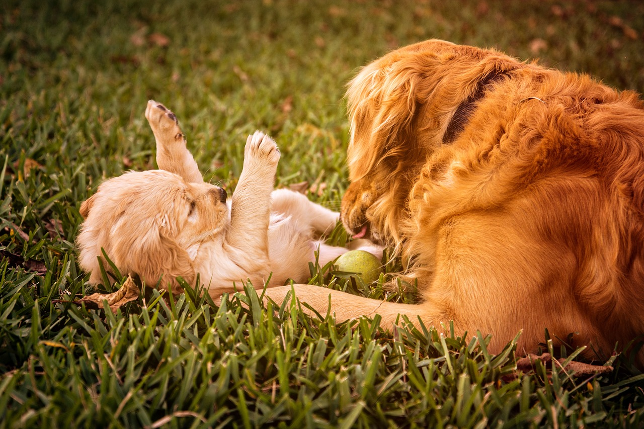 chien golden triever jouant avec un chiot
