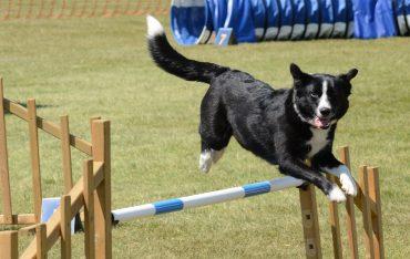chien qui saute au-dessus d'une barrière
