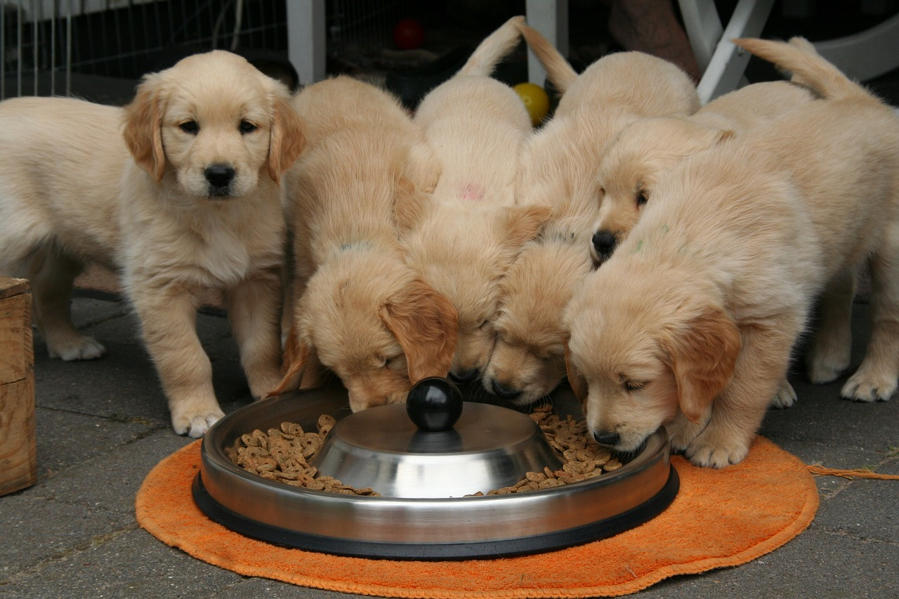 Six chiots golden retriever qui mangent dans une grande gamelle