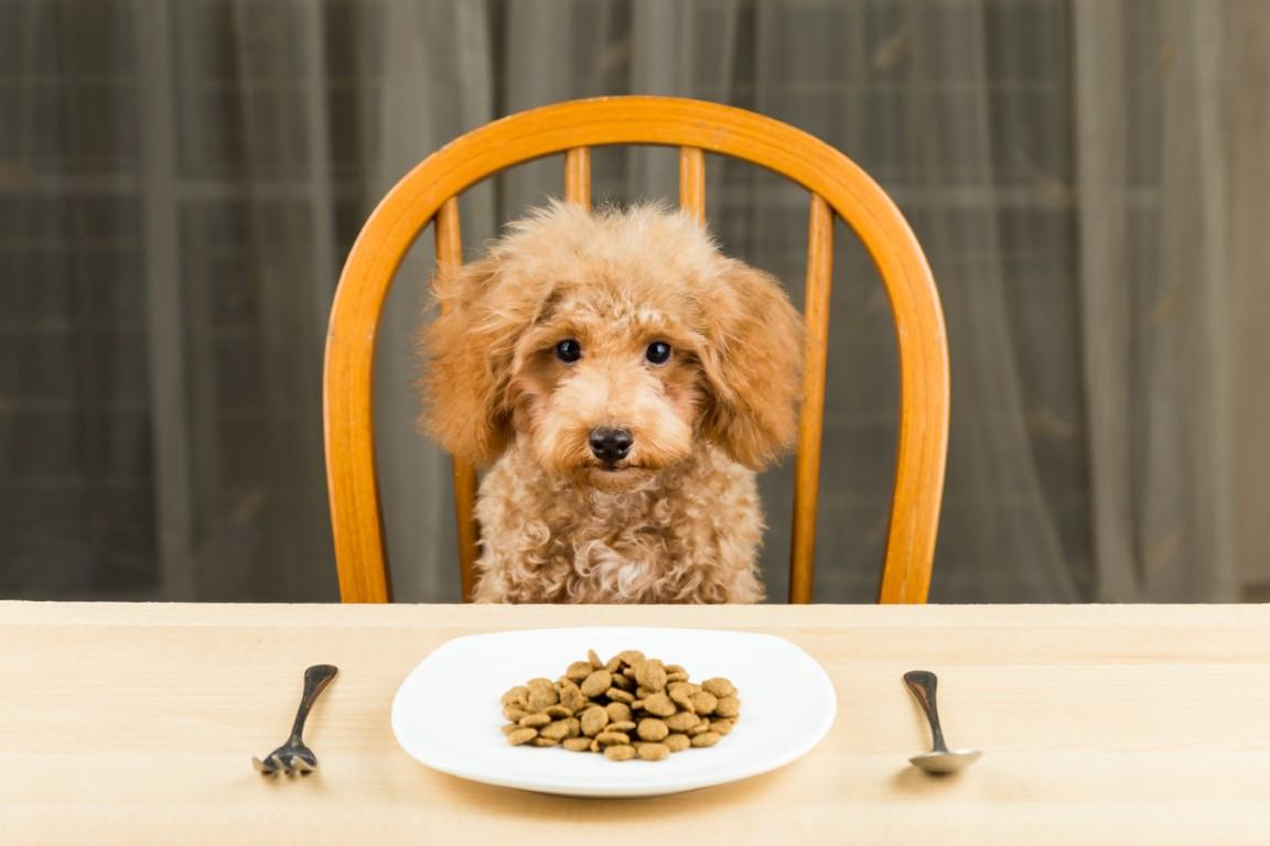 Caniche assis à table devant une assiette remplie de croquettes
