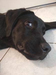 Labrador noir couché sur du carrelage