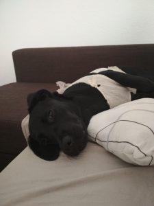 Labrador noir avec un t-shirt allongé sur un canapé