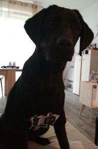 Labrador noir assis portant un t-shirt noir