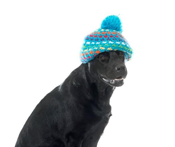 flabrador avec un bonnet