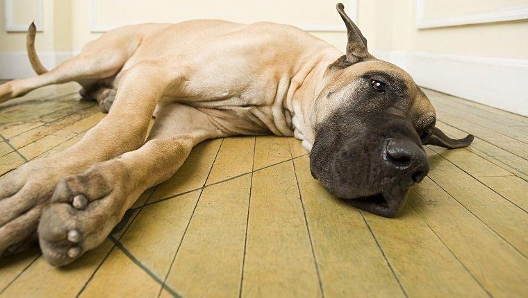 Ballonnement chez les chiens: symptômes, causes et traitements